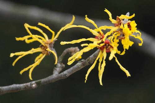 ウィッチ・ヘーゼルの花。黄色い「トゲ」のような形状が印象的です。