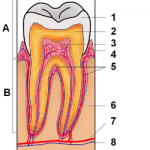 A-歯冠 1-エナメル質 2-象牙質 3-歯髄 4-歯肉 B-歯根 5-セメント質 6-骨 7-血管 8-神経