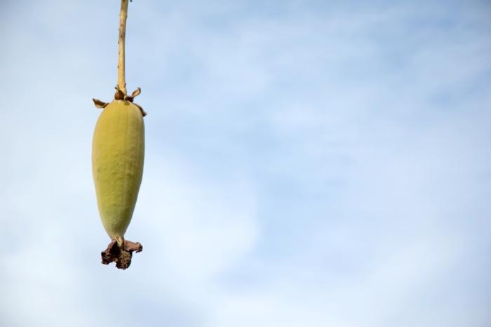 美容効果が絶大な新スーパーフルーツ「バオバブ」