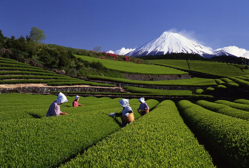 「お茶を食べる」健康法【前編】「ウーロン茶のゼリー」