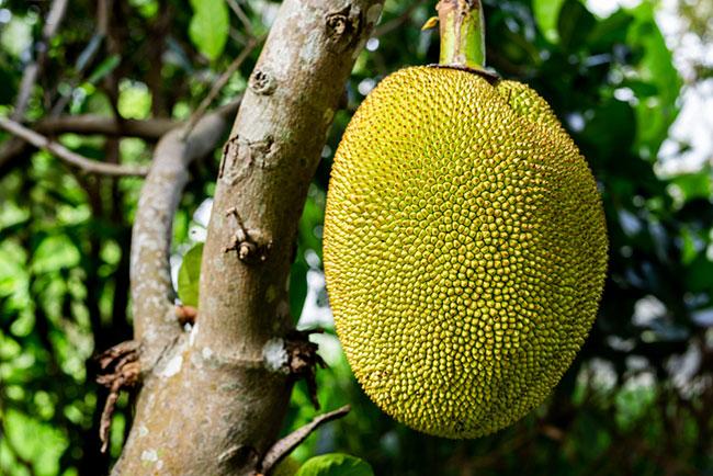 LA人気レシピを日本で再現!世界最大の果実「ジャックフルーツ」は美容効果も最大級