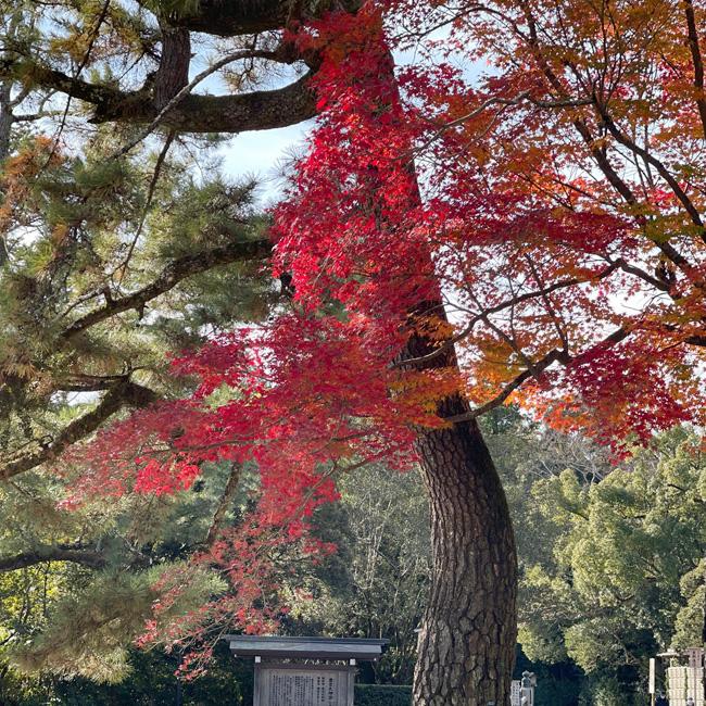 玄関口の手前右側にあるもみじが紅葉していてとてもきれい!